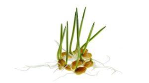 проросшие зерна пшеницы
