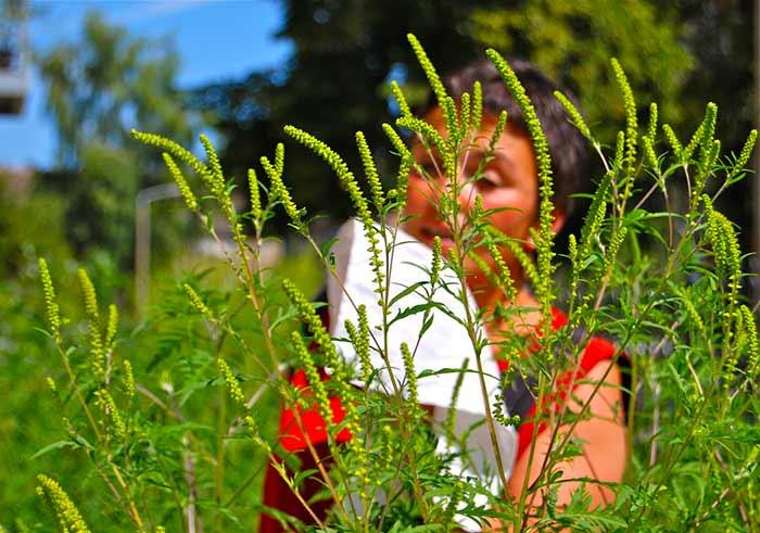 аллергия на цветение амброзии