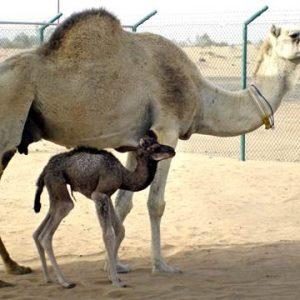 Верблюдиц