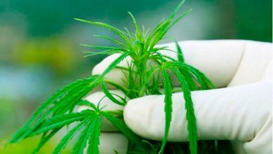 марихуана и похудение